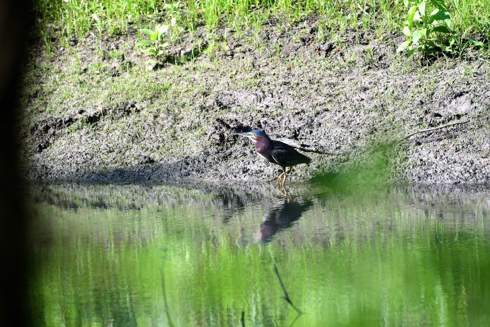Green Heron By The Pond