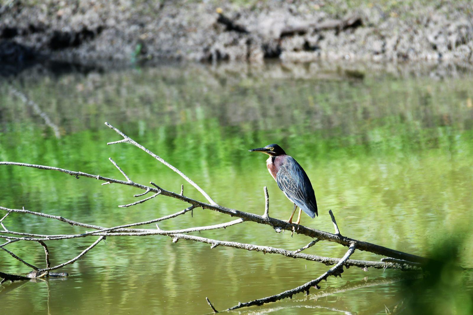 Green Heron Visiting the Pond