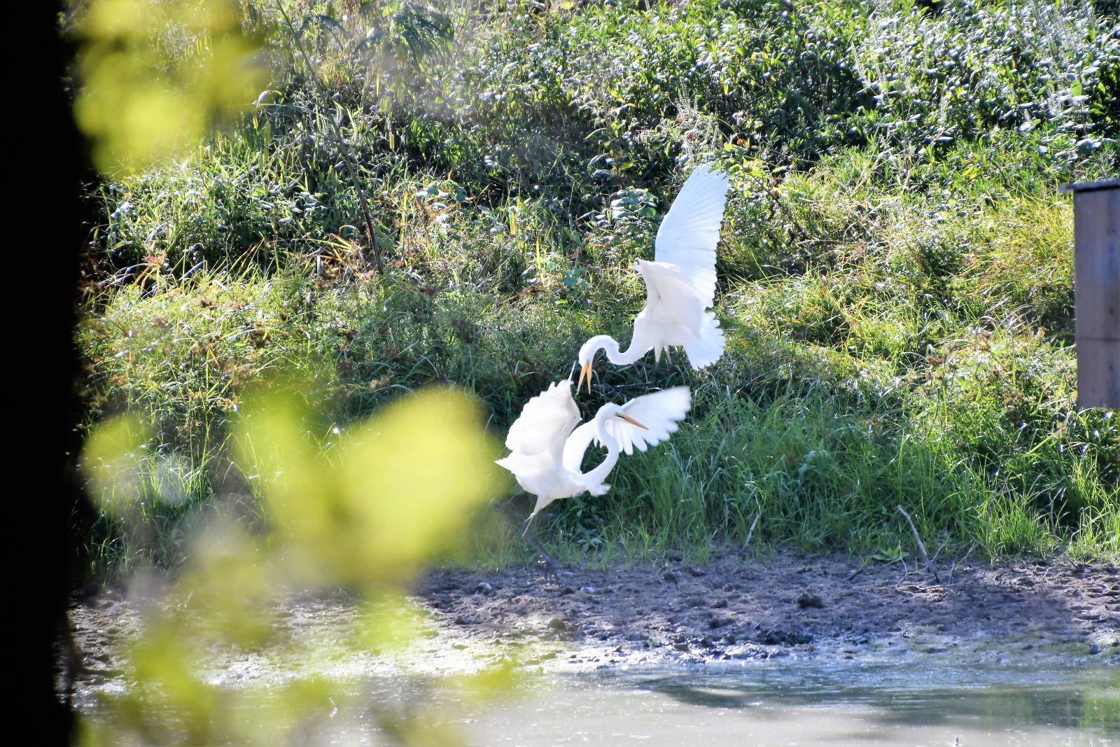 Playful Great Egrets