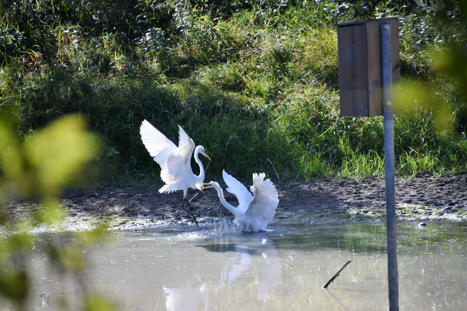 Great Egrets At Play 2