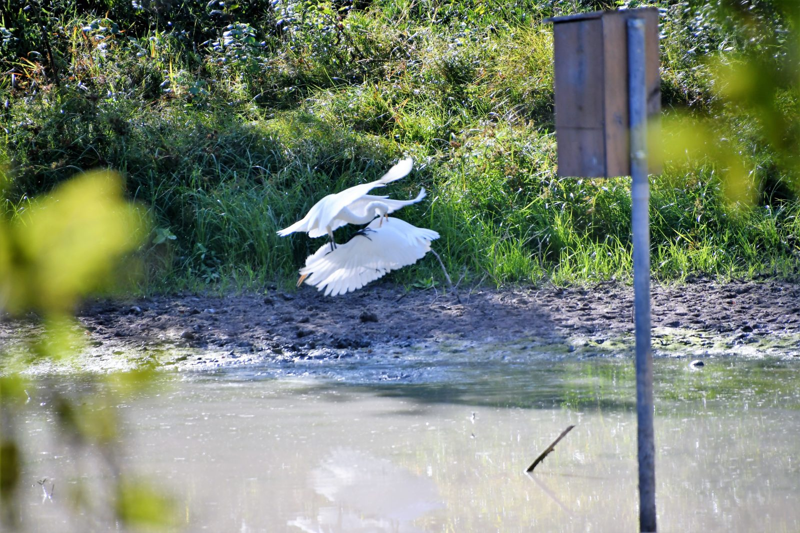 Great Egrets Play
