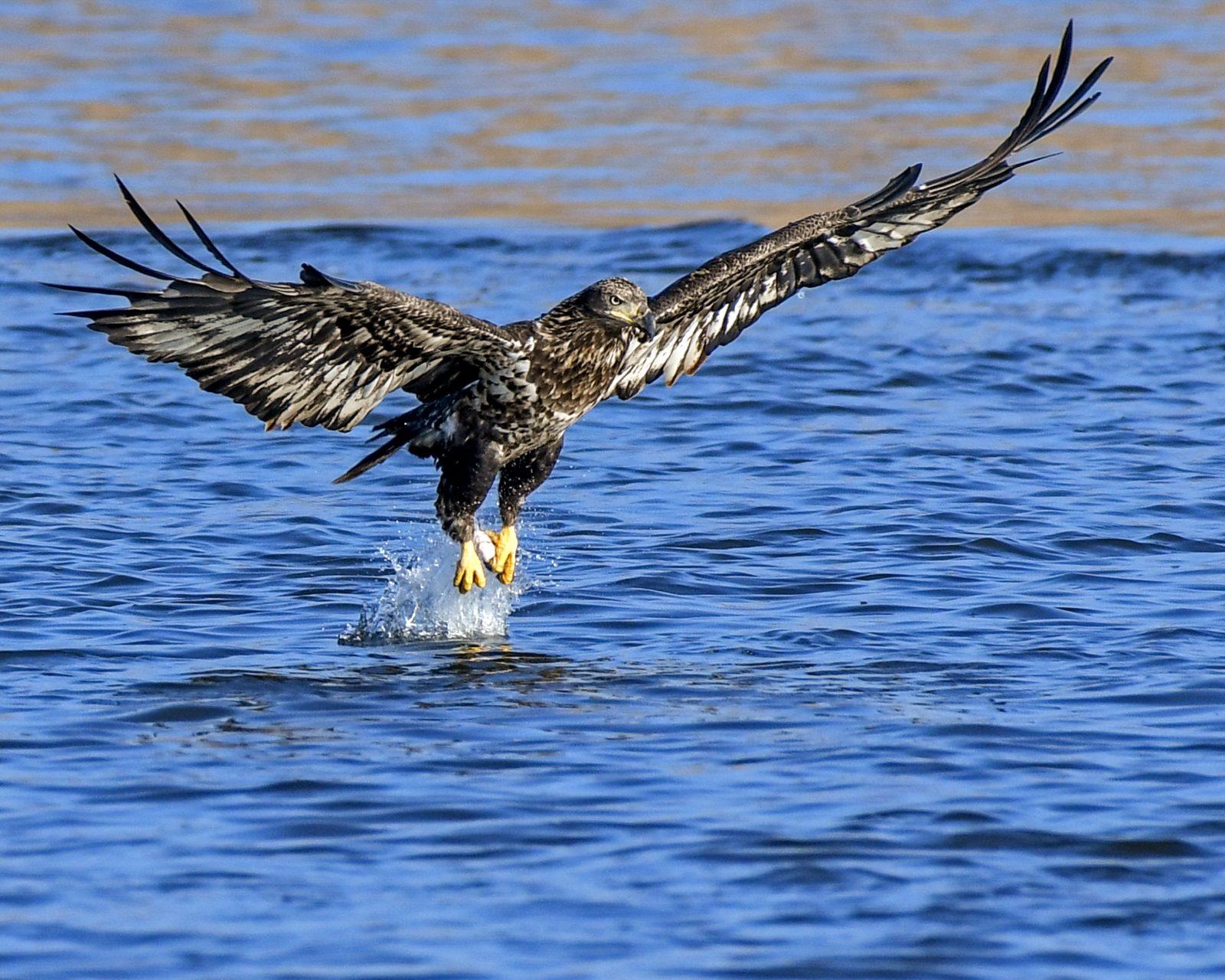 Juvenile Bald Eagle Catches a Fish