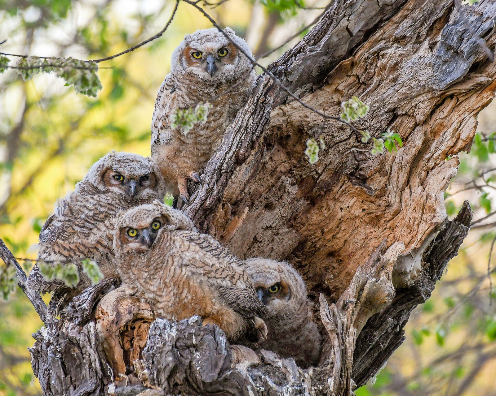Four Great Horned Owlets in Their Nest