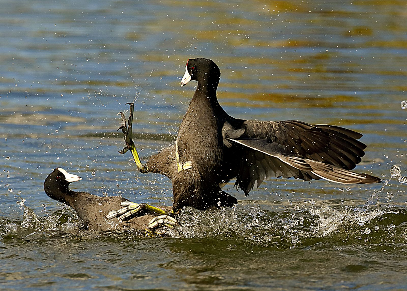 American Coot Territorial Negotiations