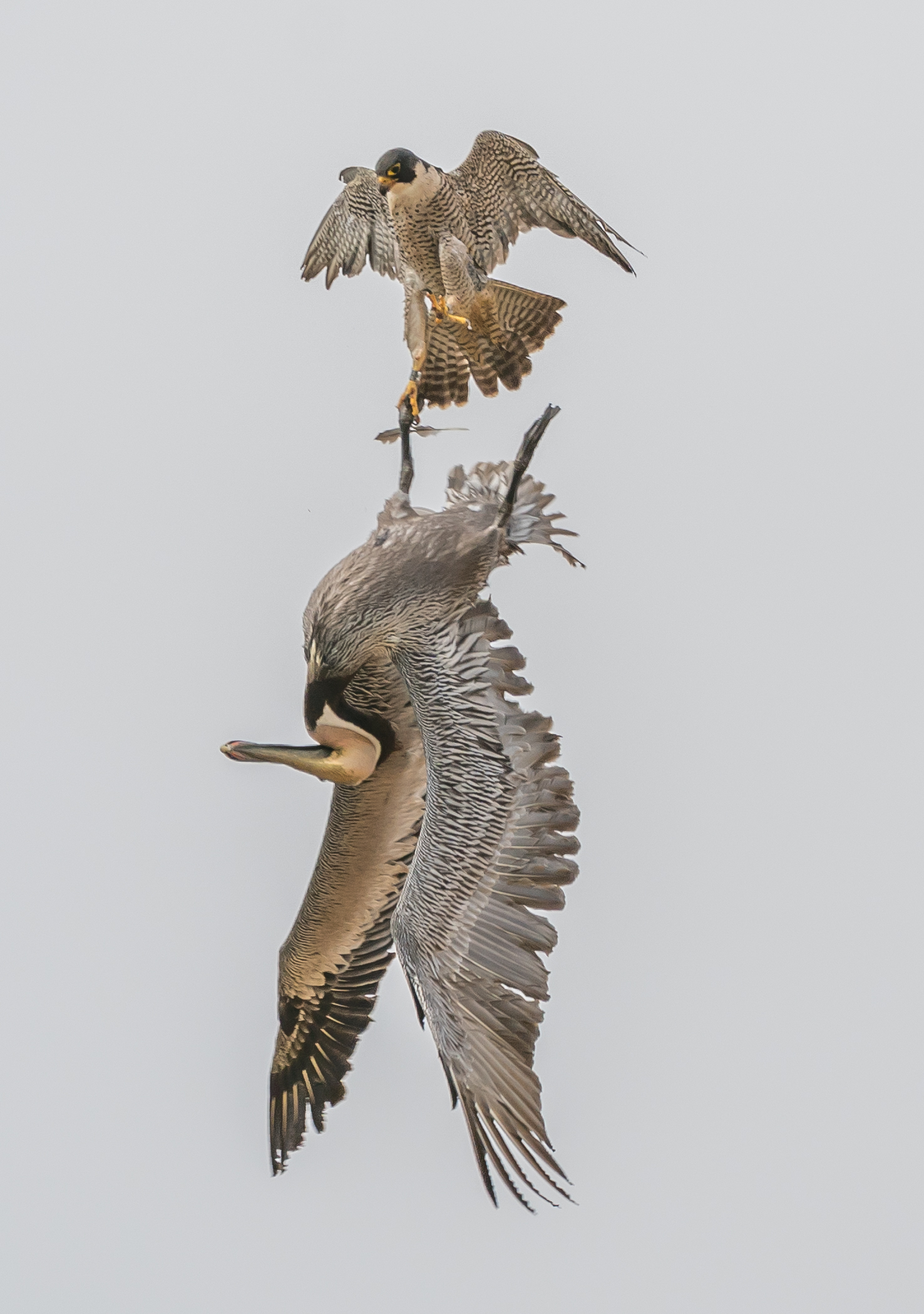 Peregrine Falcon Seizes Pelican