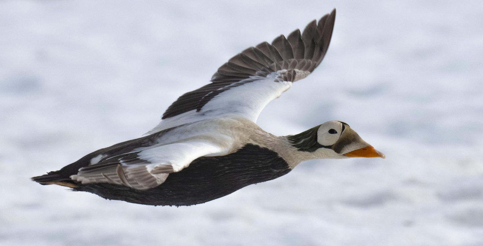 Spectacled Eider in Flight