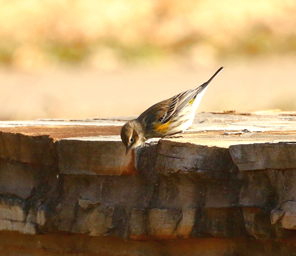 Pensive Yellow-rumped Warbler