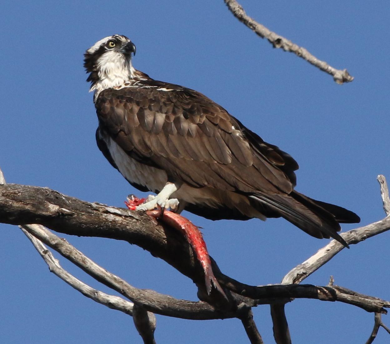 Successful Osprey