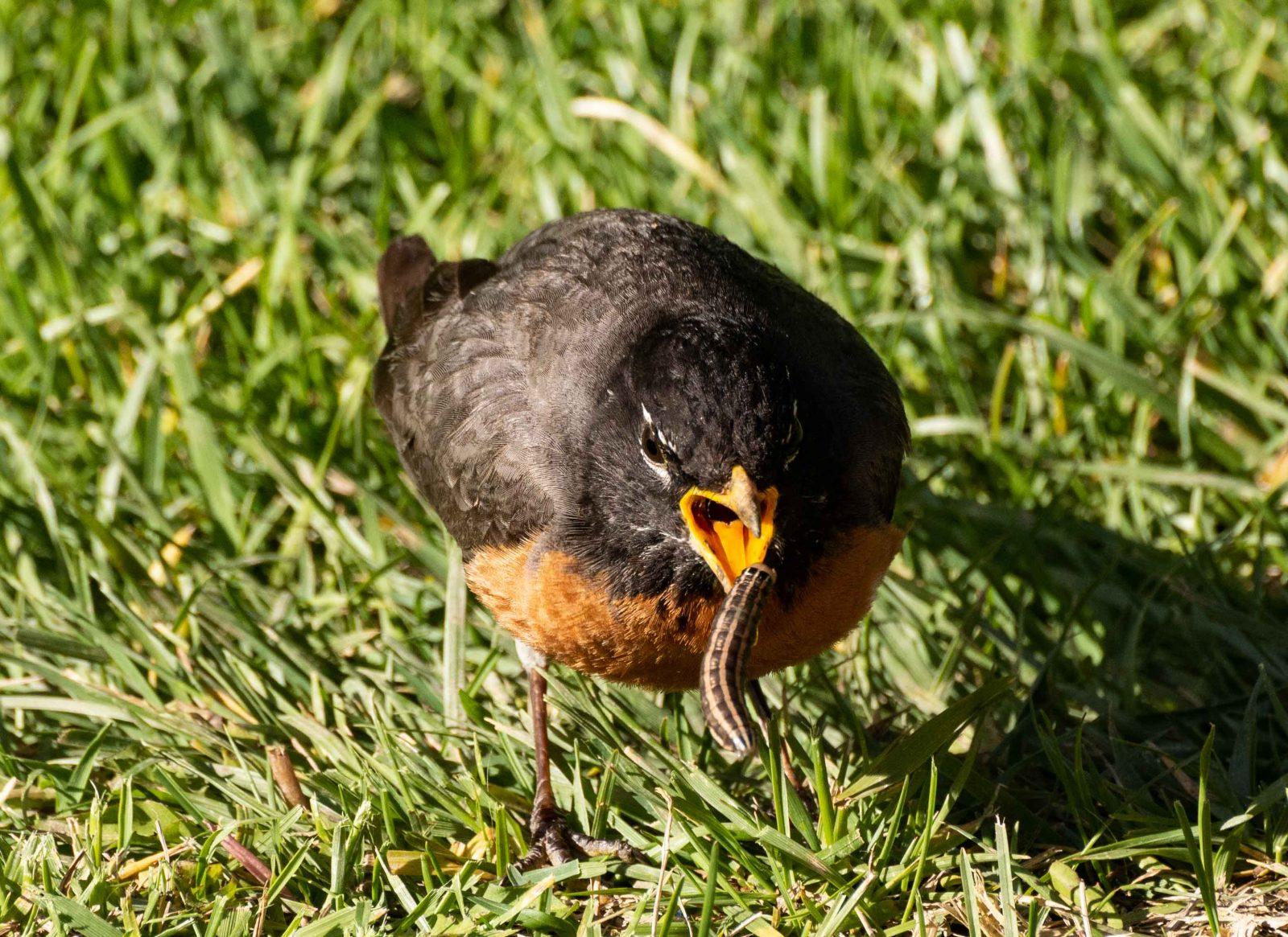 Robin with Cutoworm