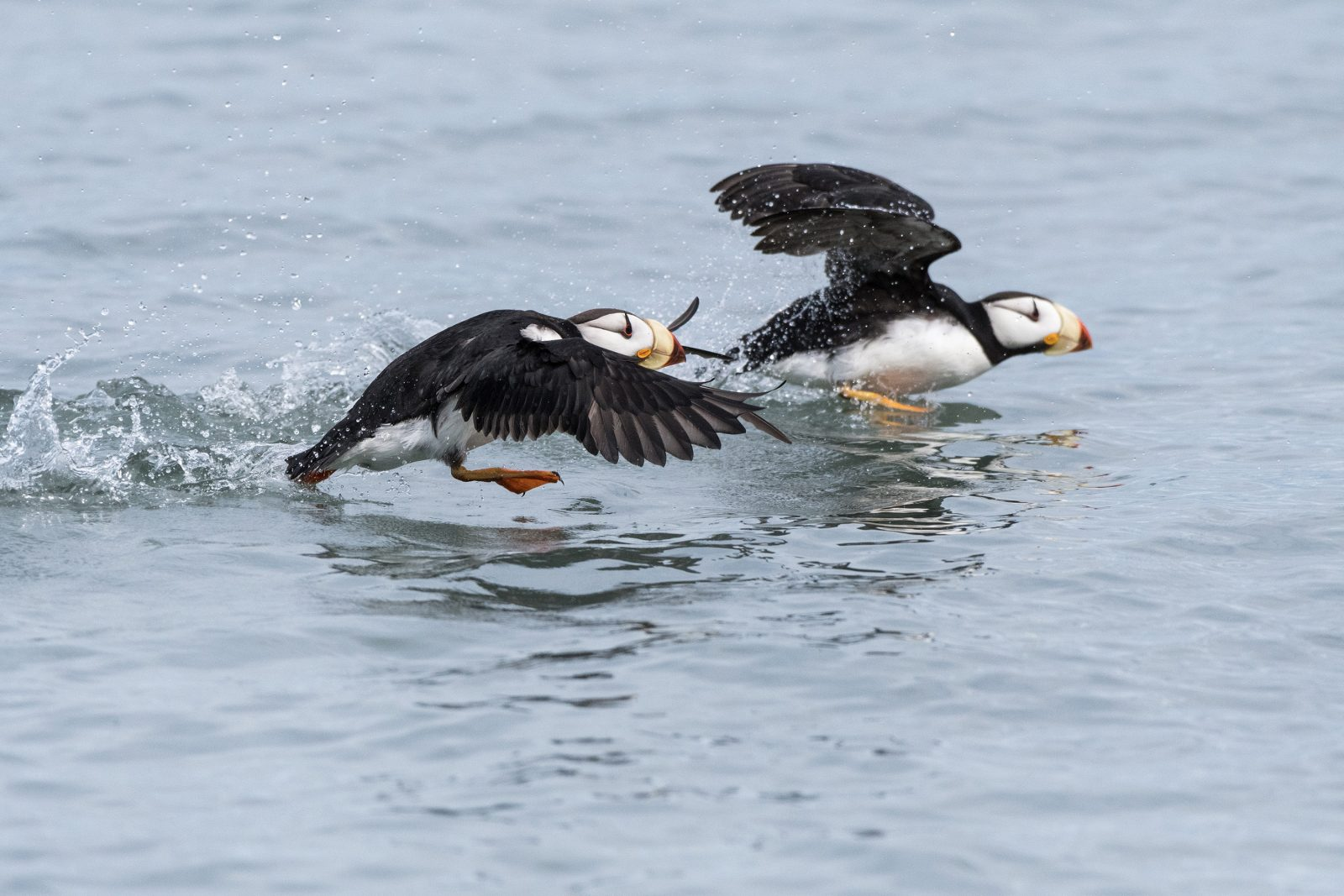 Horned Puffin Take-off