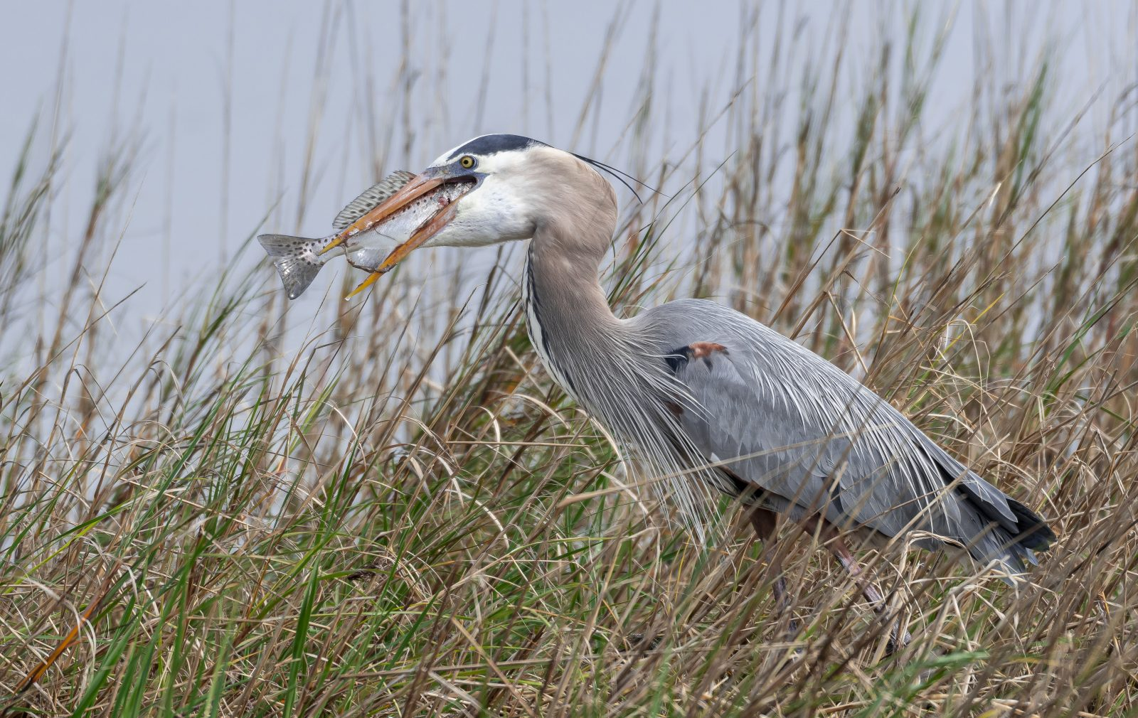 Blue Heron with Diner