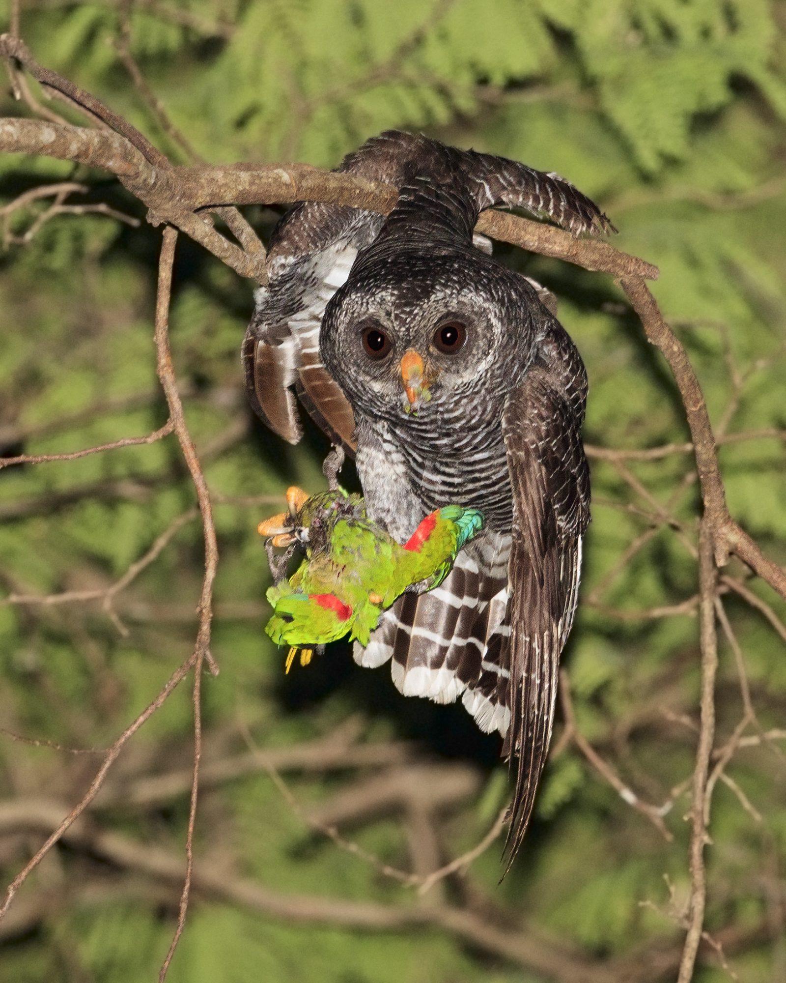 Black-Banded Owl Eating Blaze-Winged Parakeet At Night