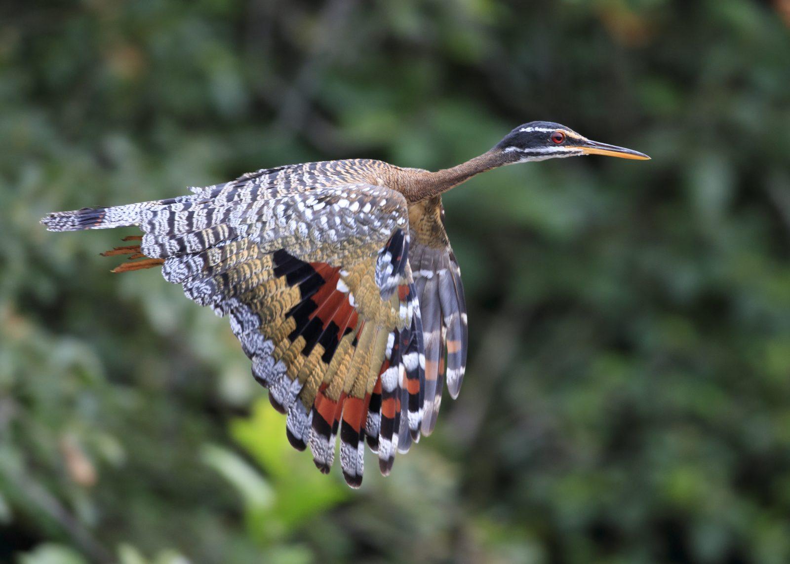 Sunbittern In Flight