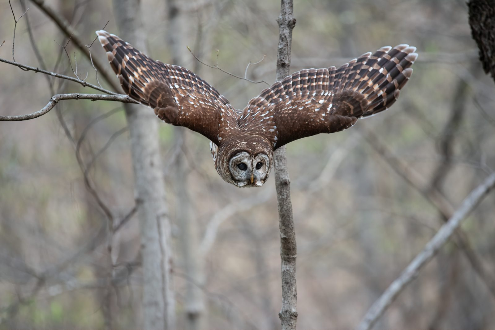 Barred Owl descending