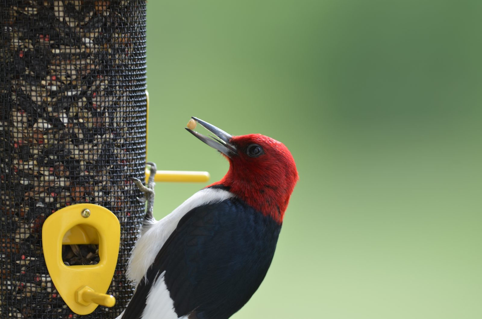 Hungry Red Headed Woodpecker