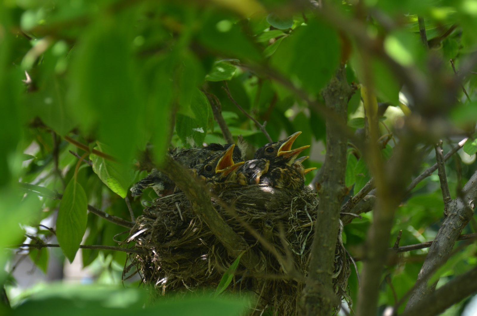 Baby Robins in their nest