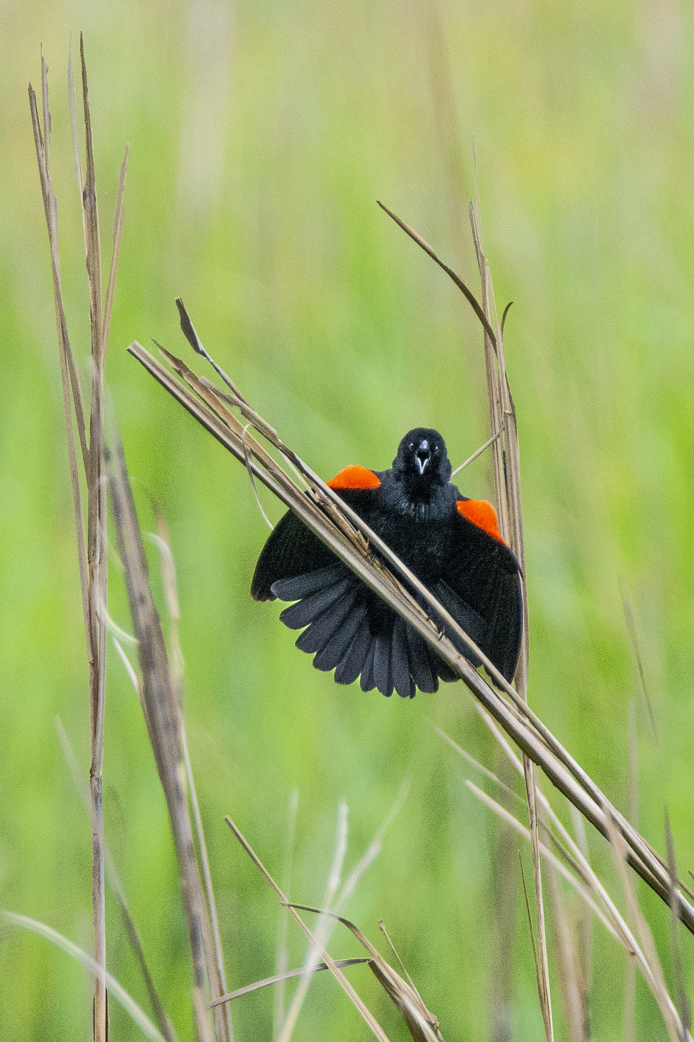 red wing blackbird_Perkinson