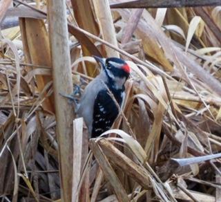 Christmas Bird-count Downy
