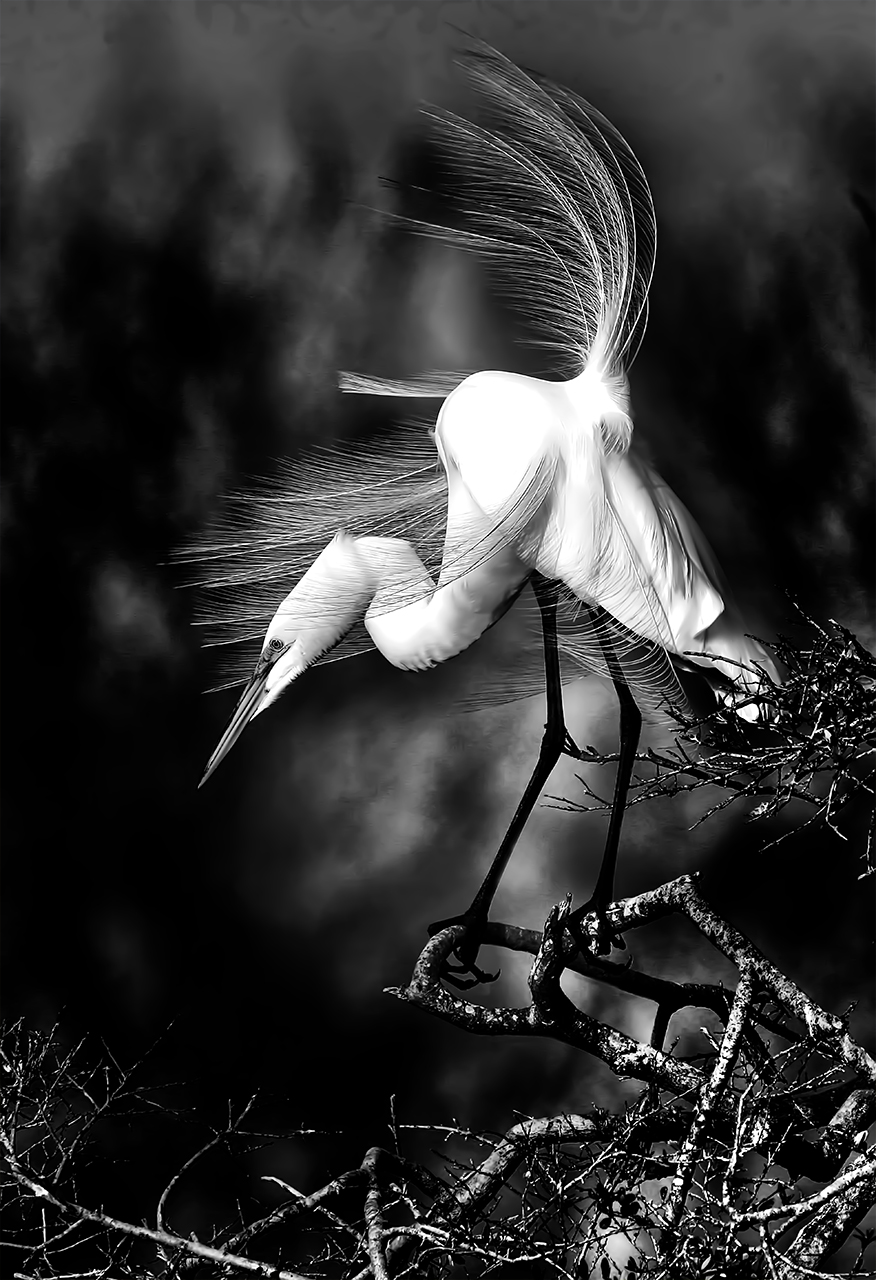 Windblown Great White Egret