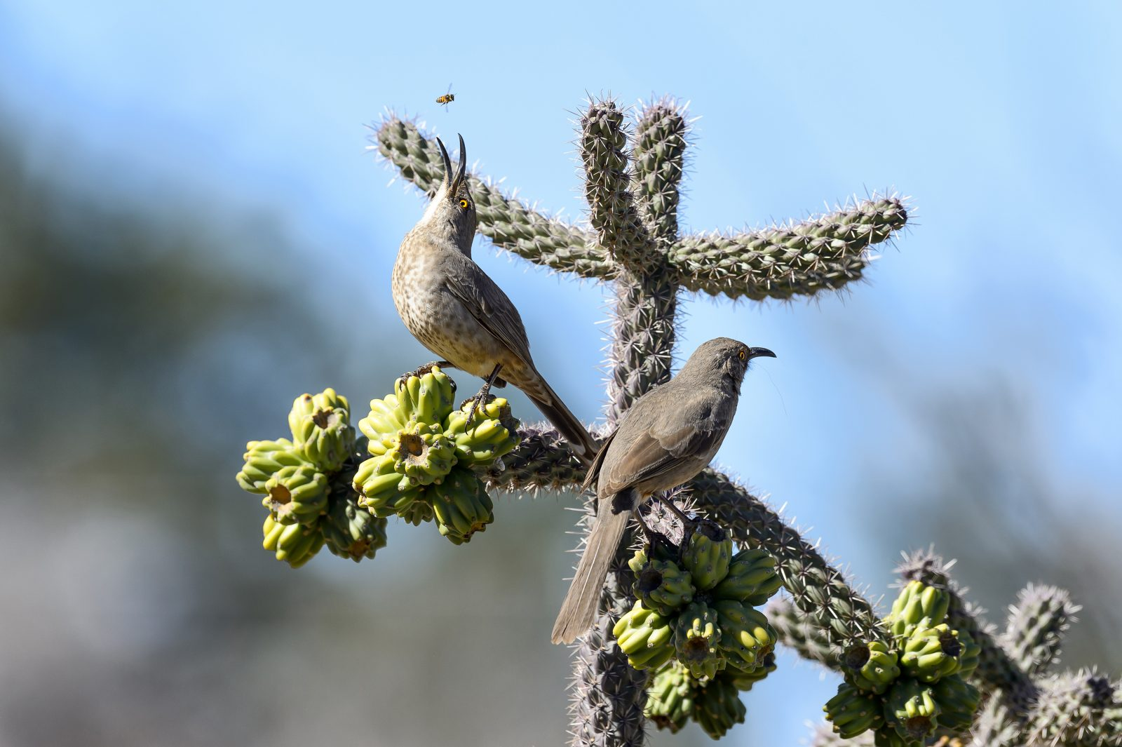 Curved-billed Thrashers lunching