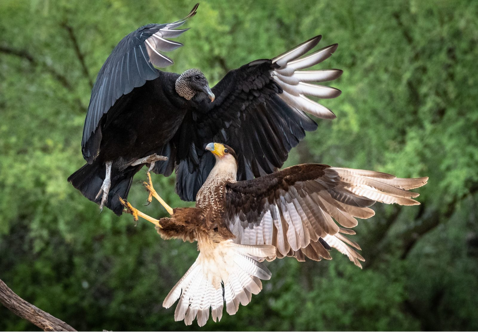 Caracara and Black Vulture Fighting