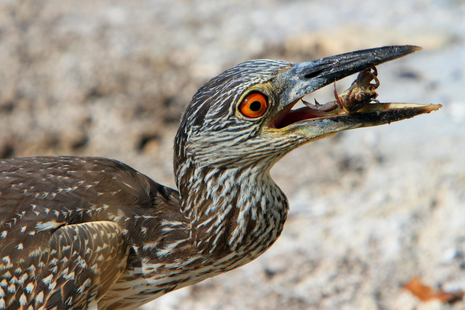 Yellow-crowned Night-Heron, juvenile