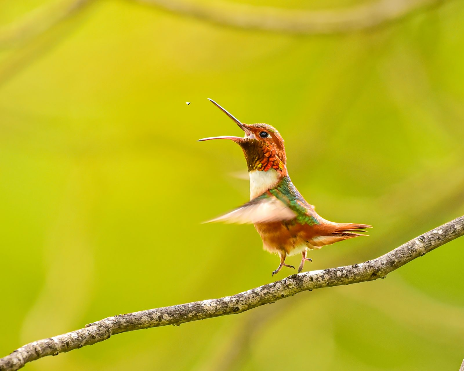 Catching my food (Hummingbird)