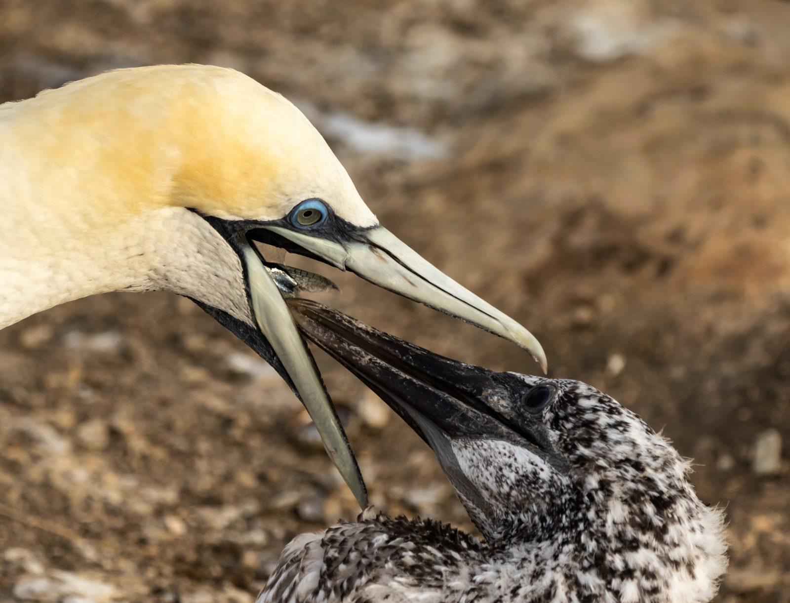 Gannet Feeding