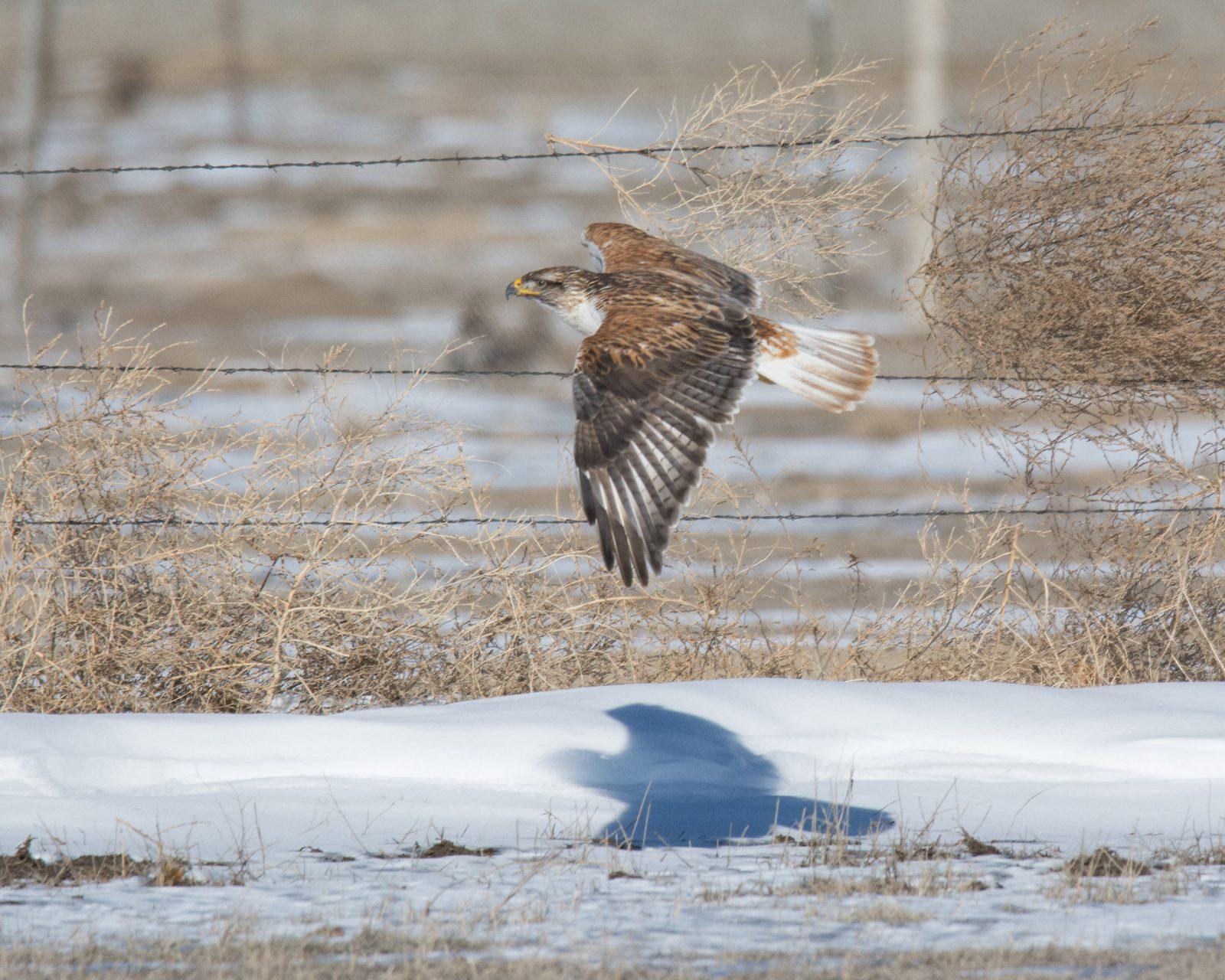 Ferruginous Hawk Fly-by