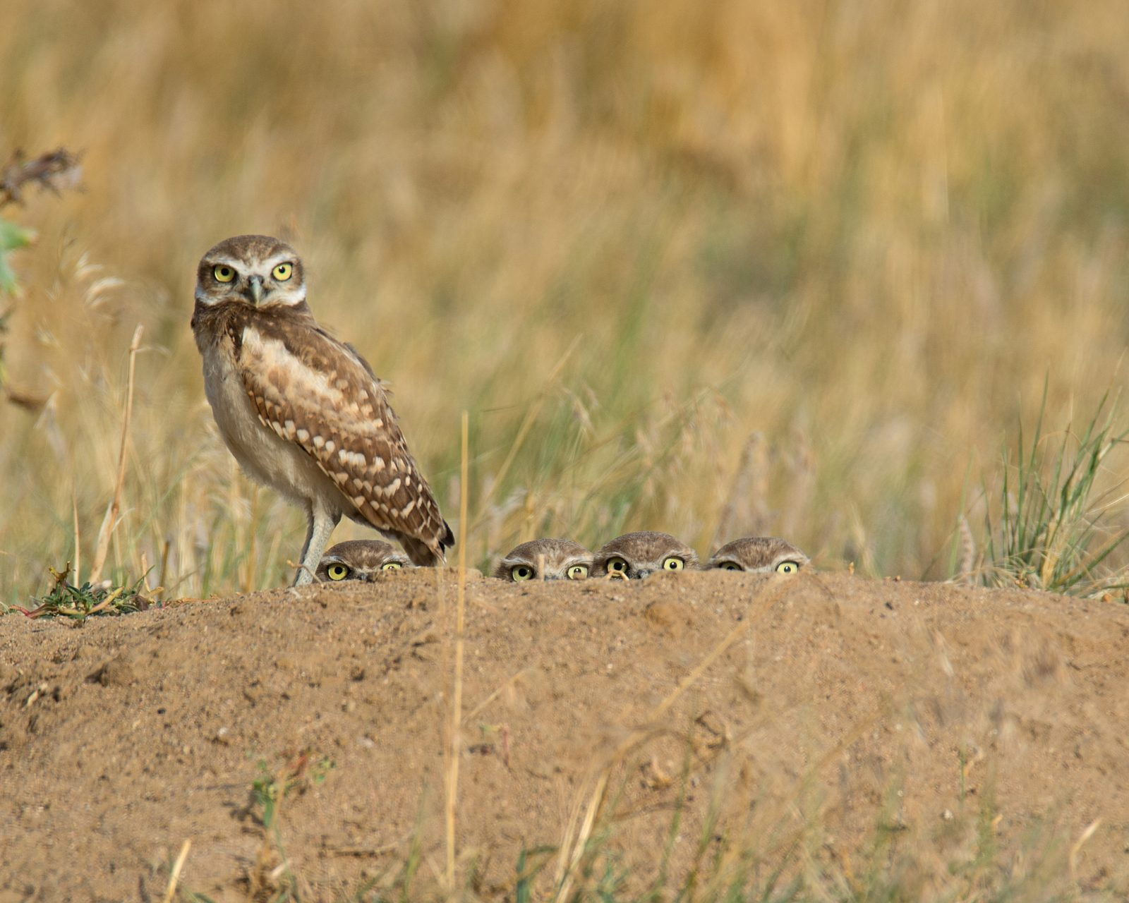 One Brave Owlet