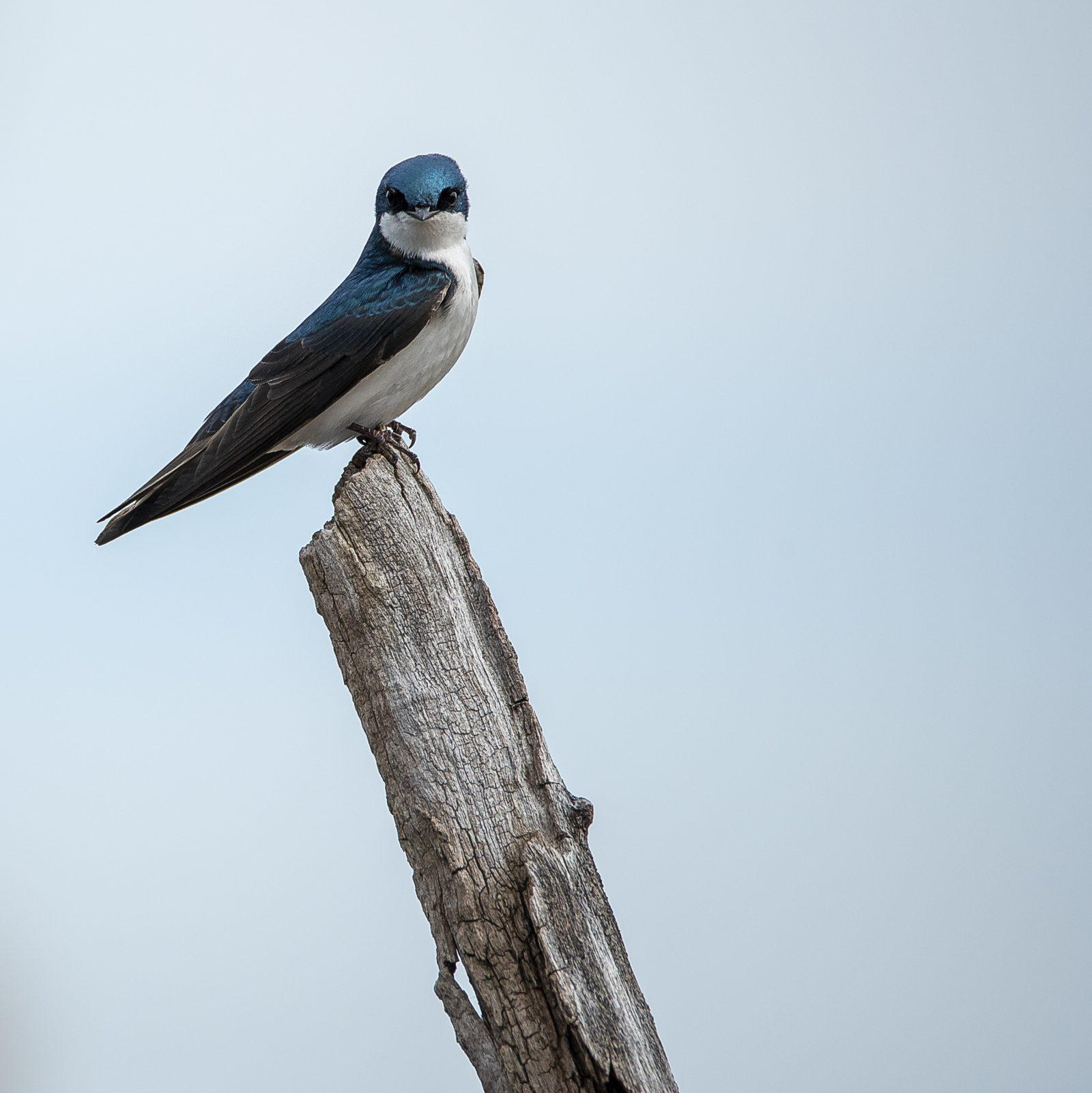Tree Swallow on stump