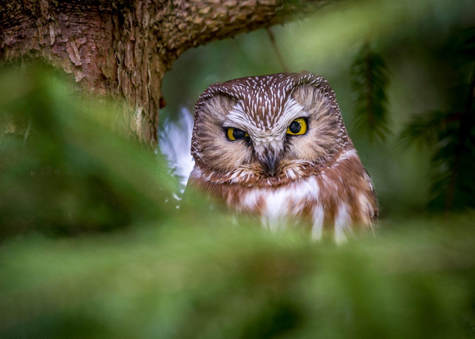 Grumpy Saw-whet Owl